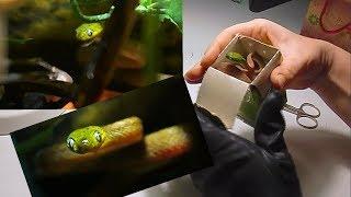 Cat snake / Распаковка еще одной зеленой змеи! Адаптация малыша бойги и особенности кормления.