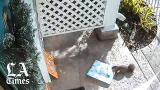 Watch: Bushy-tailed bandit steals Amazon package from San Pedro home