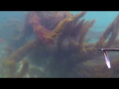 Guernsey spearfishing August 2017 (WATCH IN HD)