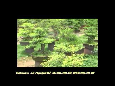 vietbonsai.vn: Kỹ thuật trồng cây và chăm sóc cây cảnh - p3