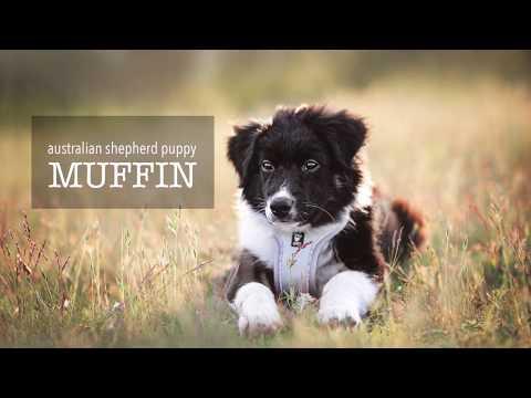 Australian shepherd puppy Muffin doing tricks