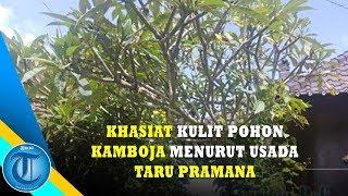Download Video Khasiat Kulit Pohon Kamboja Menurut Usada Taru Pramana #Bali Unik MP3 3GP MP4