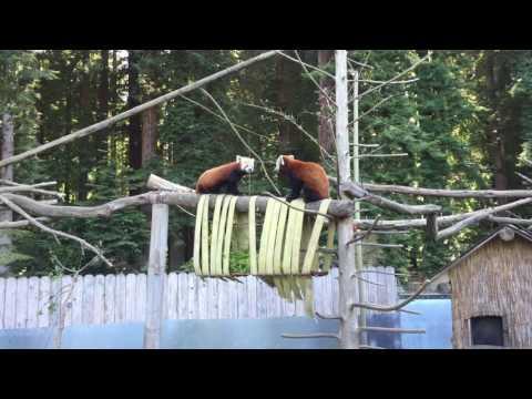 Red Panda Fight