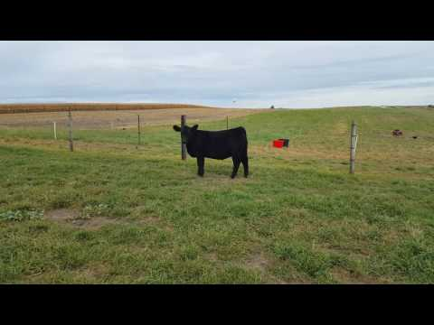 Darbyshire Farms and Show Cattle- Broker x SSC Proven Queen Heifer: LOT #1