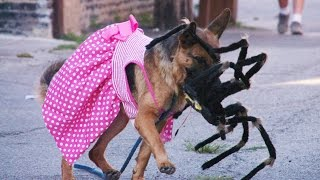 Giant Robot Spider Scares Dogs 4K (Situation X - S2 E1)