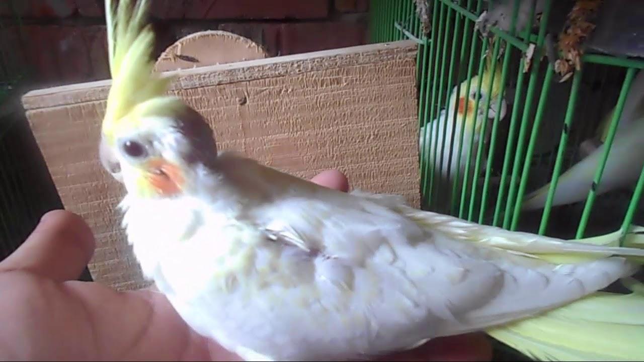 متابعة العصافير الكوكتيل الصغيرة اثناء فترة الفطام والخروج من البياضة