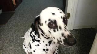 Snowie Dalmatian Smile