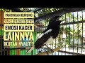 Pancingan Burung Kacer Gacor Bikin Emosi Kacer Lainnya Ikutan Nyaut  Mp3 - Mp4 Download