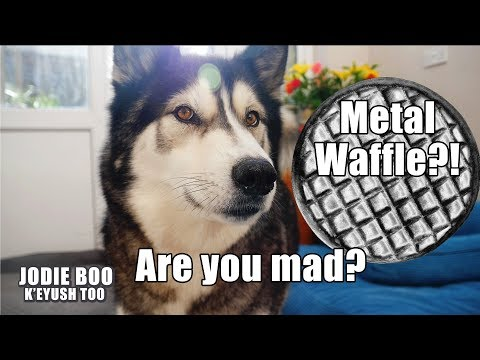 I Made My Husky A Metal Waffle! He Was Annoyed He Couldn't Eat It!