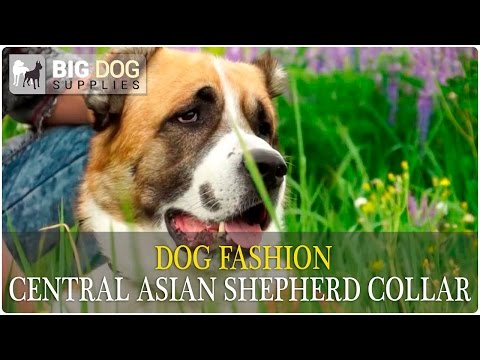 Cool Central Asian Shepherd in Vintage Dog Collar - Dog Fashion