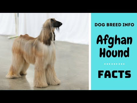 Afghan Hound dog breed. All breed characteristics and facts about afghan hound