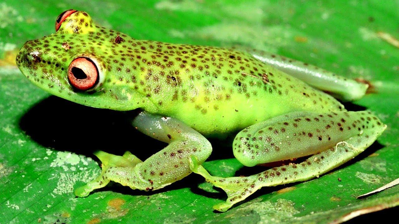 anfíbios da mata atlântica de santa catarina rainforest frogs