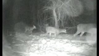 Deer Family at Drumlin Farm in Winter