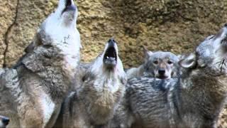多摩動物公園のヨーロッパオオカミは大家族! オオカミならではの遠吠え...