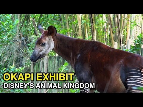[4K] Okapi Exhibit - Rainforest Creature : Animal Kingdom (Orlando, FL)