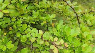 당매자나무
