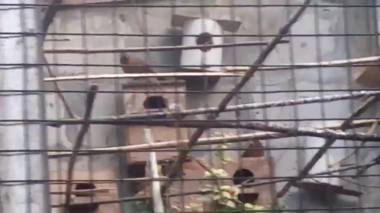 Contoh Keren Ternak Wambi Di Kandang Aviary Bermacam Burung Youtube
