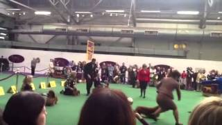 Westminster Kennel Club 2014 Longhaired Dachshund Bob