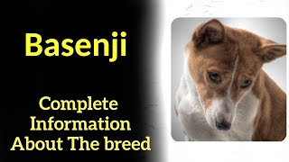 Basenji. Pros and Cons, Price, How to choose, Facts, Care, History