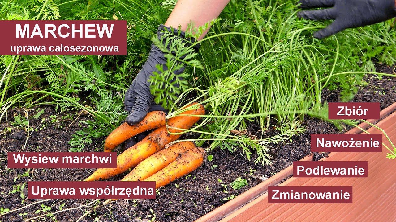 Download Marchew - Jak uprawiać marchew żeby mieć obfite plony? Uprawa warzyw w ogrodzie.