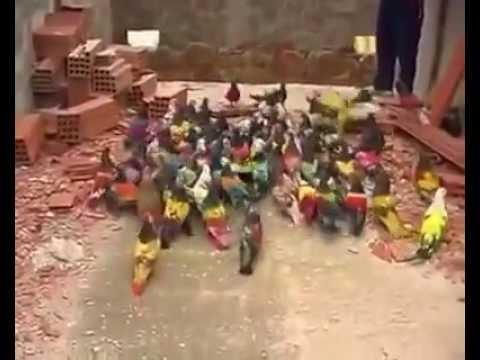 Most Amazing Video Beautiful Colored Pigeons Having Walk !! Bird Love !!