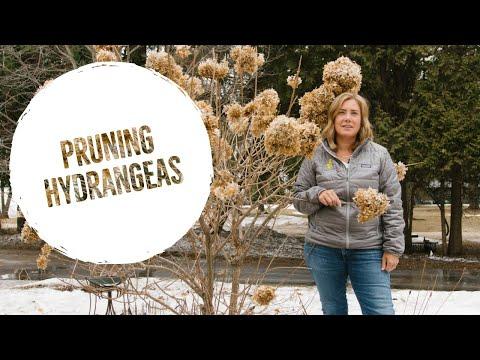 Hydrangea Pruning: Don't Sweat It!