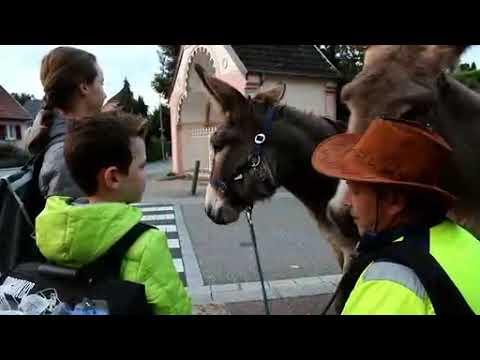 A Uffholtz, les ânes vont à l'école - Reportage L'Alsace - 28/09/2017