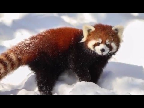 Fun Facts About Red Pandas; Wild Animals: Episode 3 - YouTube