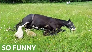 Clydesdale horses run free in meadow and roll with joy thumbnail