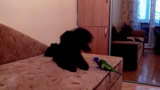 Малый пудель Гуффи 5,5 месяцев - играет с попугаем