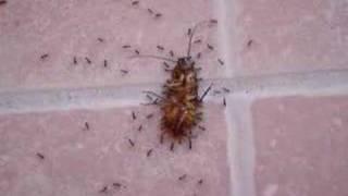 Ants swarming a roach