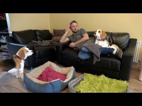 How Relaxing With Beagle Dogs Looks Like - Dogs Want Attention