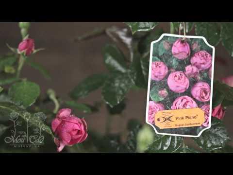 Роза Pink Piano (Новинка 2011) [ROSEN TANTAU]