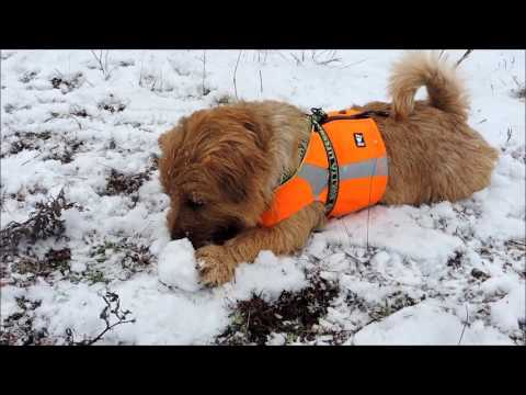 Toby the norfolk terrier - winter fun