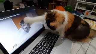 Funny Reaction Video: Persian cat watches her favorite Catuber