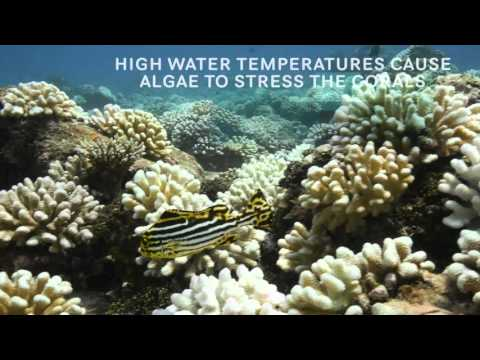 Coral Bleaching: A simple explanation