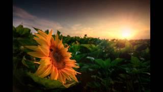 Silly - Sonnenblumen