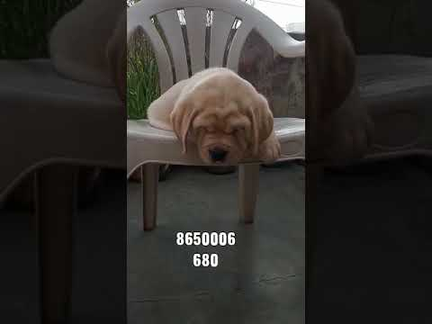 pet-care---show-quality-labrador-puppy-for-sale-in-dehradun-delhi-mumbai-bihar-gurugoan-india