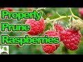 How To Prune Autumn Fruiting Raspberries