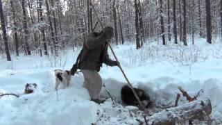Охота на куницу с собаками видео