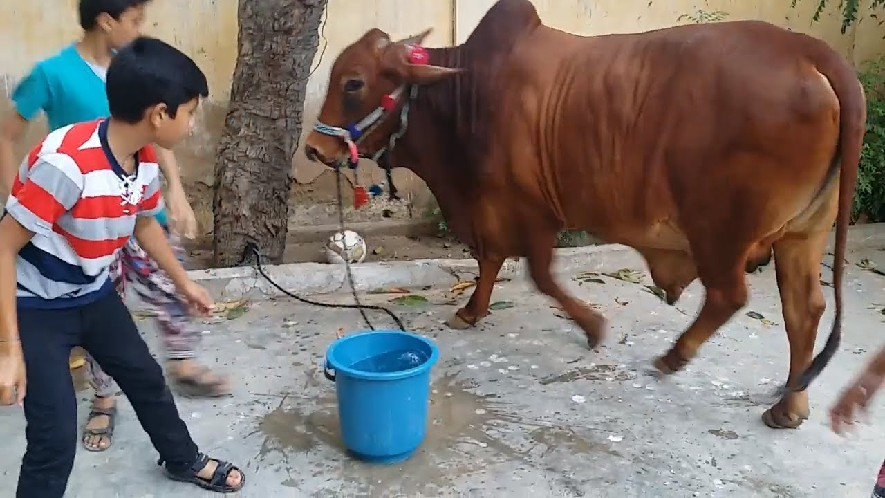 Memorable Moments with Bull for Qurbani in Bakra Eid | Eid ul Adha