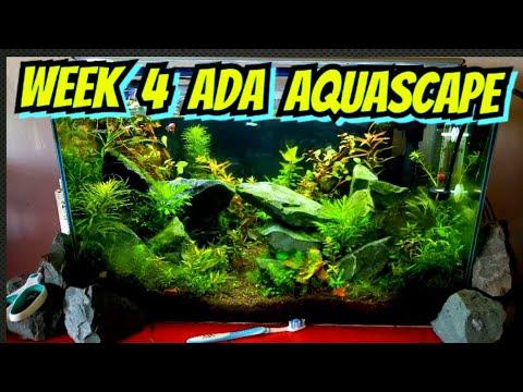 Week 4 - High Tech Planted ADA Style Aquascaped Aquarium - Plants, Shrimp, Fish & Algae