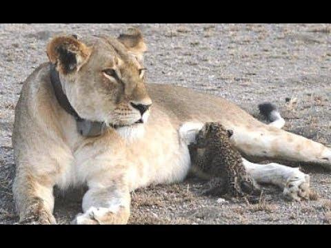 A Wild Lioness Nursing A Baby Leopard