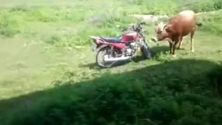 A bull attempting to have sex with a motorbike