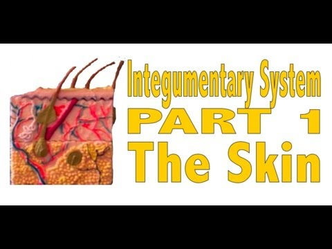 Integumentary System, Part 1: The Skin - YouTube