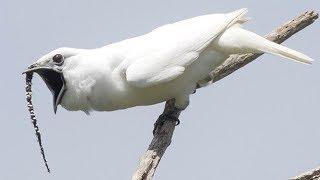 إستمع إلى أقوى صوت طائر على وجه الأرض فى منطقة الأمازون