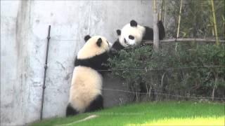 【まるでコント♪】垣根に入って飼育員さんに出される♪ 子パンダ【桜浜&桃浜】 Giant panda -Ouhin&Touhin- thumbnail