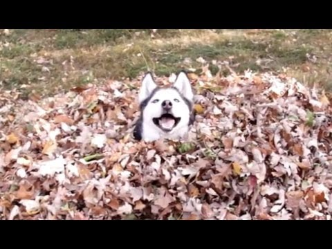 Funny Dogs Playing in Leaves Compilation