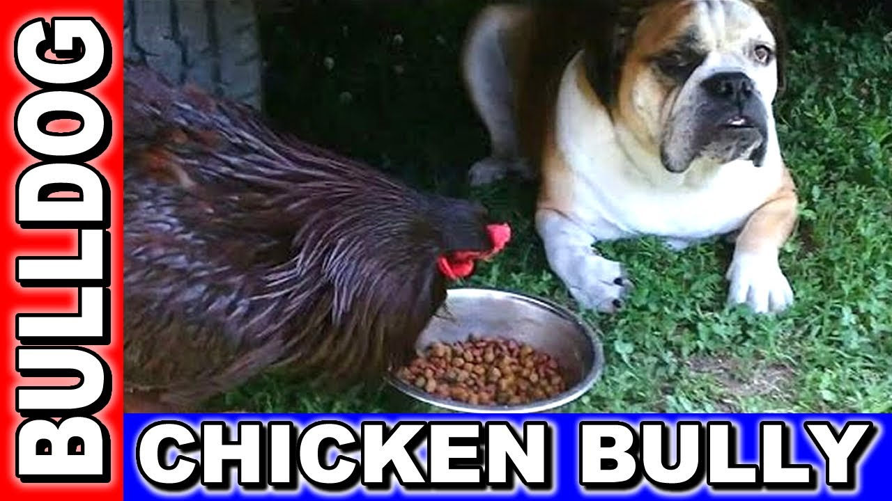 bulldog food english bulldog food stolen by bully rooster youtube 6420