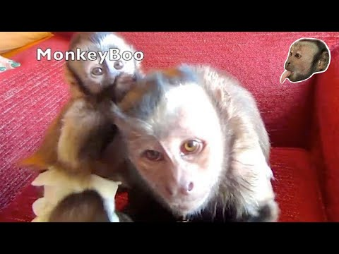 Capuchin Monkey LOVES Baby Capuchin Friends